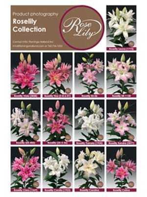 Roselily Collection
