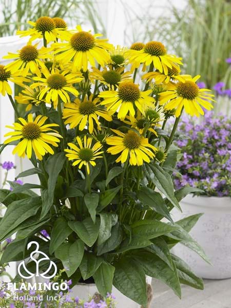 Echinacea SunSeekers Yellow