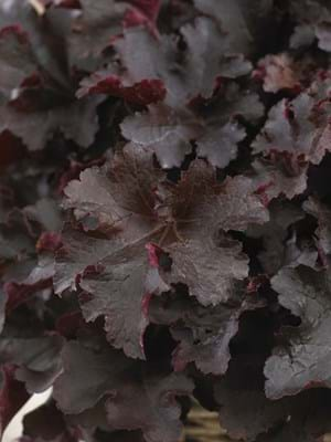 Heuchera Indian Summer Bilberry