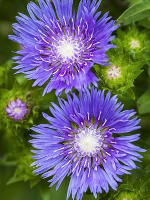 Stokesia Blue Frills Blooms