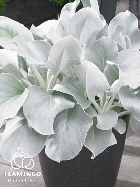 Senecio Angel Wings