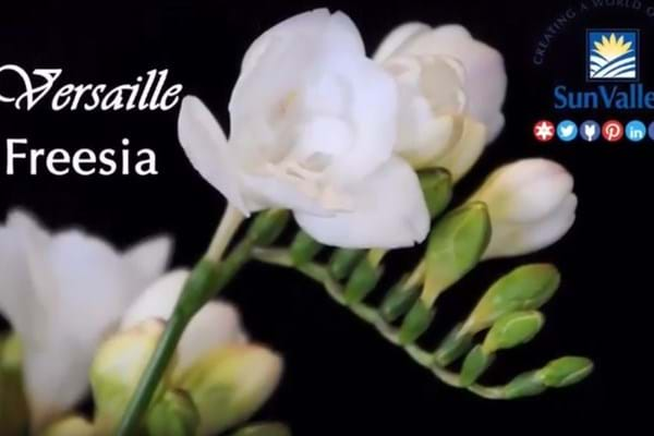 Floral Daily Video: Sun Valley freesia returns