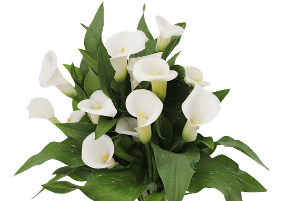 New Calla 2019 Varieties