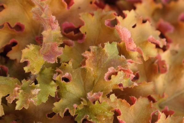 Heuchera Indian Summer
