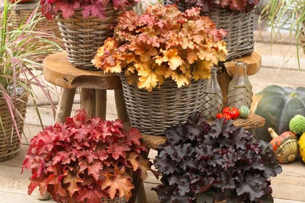 Product Highlight: Heuchera Indian Summer Series